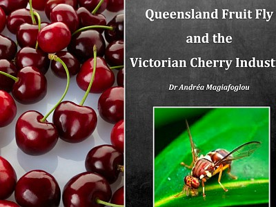 QLD Fruit Fly Vic Cherry Industry